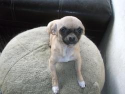 Vipere, chien Chihuahua