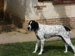 Virgil, chien Braque d'Auvergne