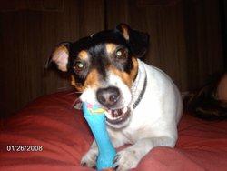 Virgule, chien Jack Russell Terrier