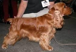 Virgule, chien Cocker anglais