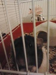 Virus Bigballs, rongeur Rat