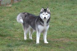 Vischka, chien Husky sibérien