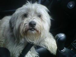 Vishnou, chien Berger des Pyrénées