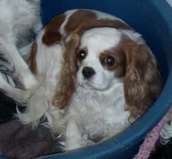 Visky, chien Cavalier King Charles Spaniel