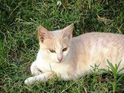 Visonne, chat Gouttière