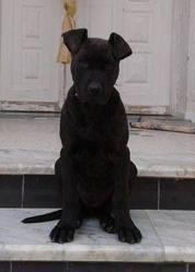 Vita, chien Staffordshire Bull Terrier