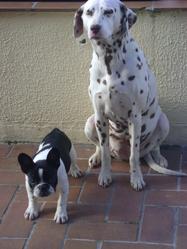 Vita, chien Dalmatien