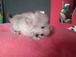 Vitalin, rongeur Chinchilla