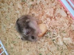 Vitamine, rongeur Hamster
