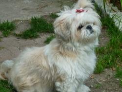 Vitky, chien Shih Tzu