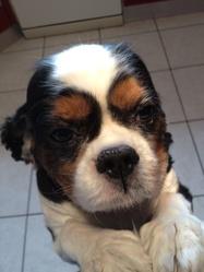 Vito, chien Cavalier King Charles Spaniel
