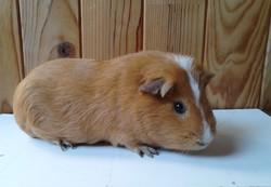 Vito, rongeur Cochon d'Inde