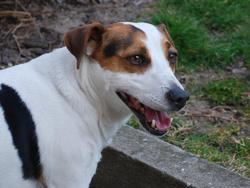 Vito, chien Jack Russell Terrier