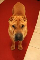 Vito, chien Shar Pei