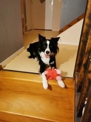 Vito, chien Border Collie