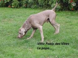 Vitto Pablo Des Vives, chien Braque de Weimar