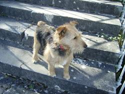 Vitus, chien Fox-Terrier
