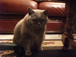Vivienne, chat British Shorthair