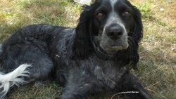 Vixey, chien Épagneul bleu de Picardie
