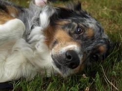 Vixy, chien Berger australien