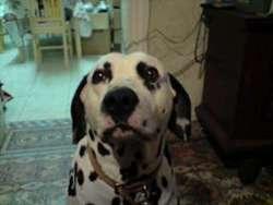 Vizir Du Manoir Du Rouge Camp, chien Dalmatien