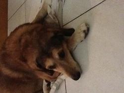 Vocq, chien Labrador Retriever