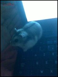 Vodka, rongeur Hamster