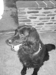 Vodka, chien Flat-Coated Retriever