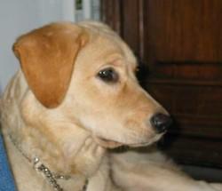 Vodka, chien Labrador Retriever