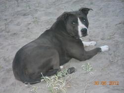 Voga, chien American Staffordshire Terrier