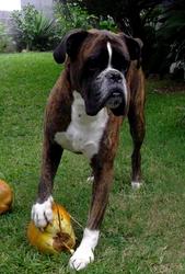 Volcan, chien Boxer