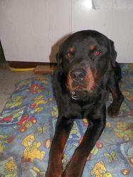 Volcan, chien Rottweiler