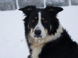 Volfie, chien Border Collie