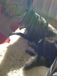 Volga, chien Labrador Retriever