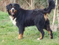 Volk, chien Bouvier bernois