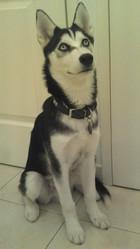 Volk, chien Husky sibérien