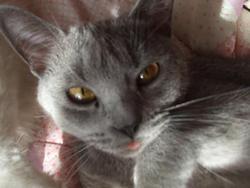 Volka, chat Chartreux