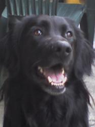 Volko, chien