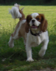 Volney, chien Cavalier King Charles Spaniel