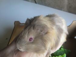 Volt, rongeur Cochon d'Inde