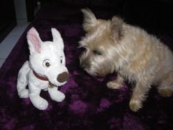 Volt, chien Cairn Terrier