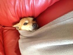 Volt , chien Chihuahua
