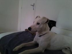 Volt, chien Jack Russell Terrier
