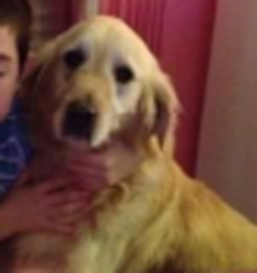 Volt, chien Golden Retriever