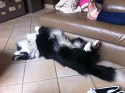 Volt, chien Border Collie