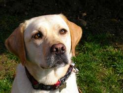 Volta, chien Labrador Retriever