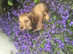 Voltaire, chien Teckel