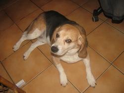 Volvic, chien Beagle