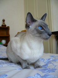 Voodoo, chat Siamois