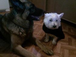 Voodoo, chien Berger allemand